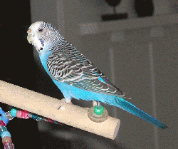 Parakeet