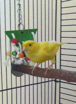 Finch/Canary