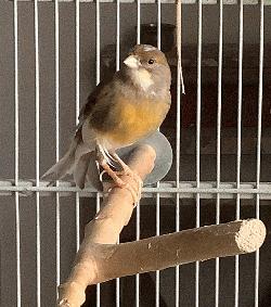 MVF Aria Canary #5